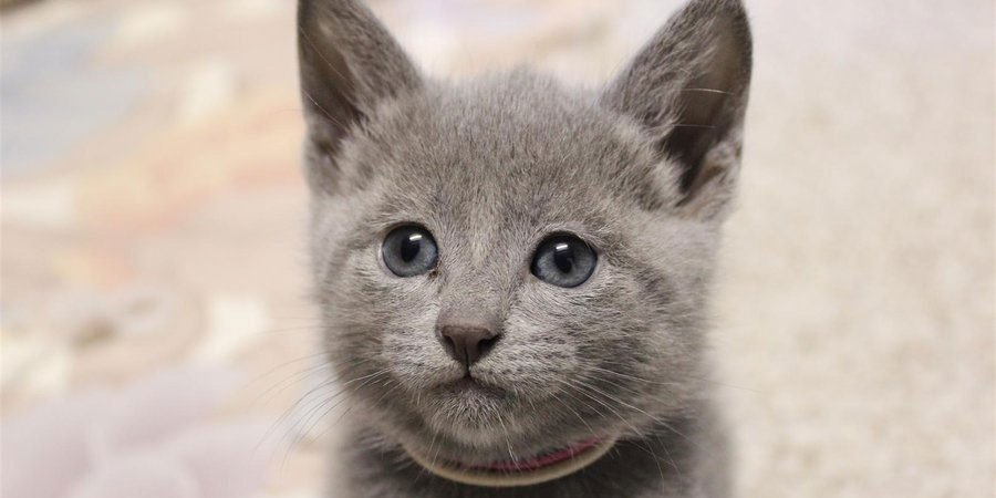 20 Fun Facts You Didn T Know About Russian Blue Cats