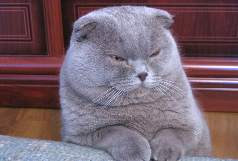 10 Things You Didn't Know about the Scottish Fold