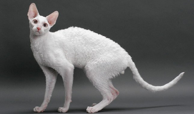 10 Things You Didn't Know About The Cornish Rex