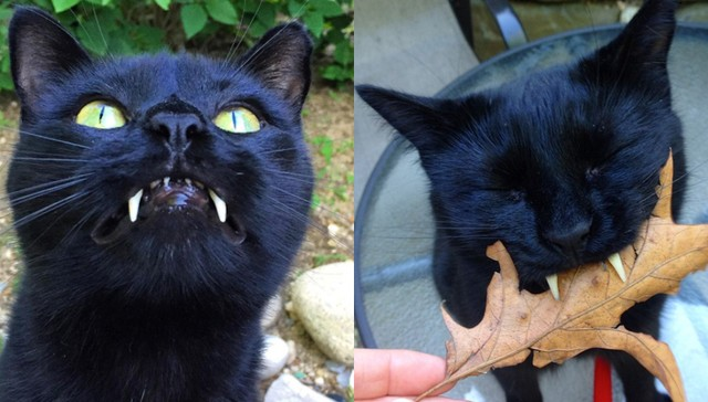 Cat with Vampire Teeth Wins over Woman Who Saved Him