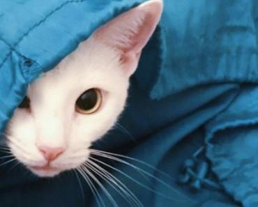 Sansa: The Gorgeous White Cat With Feline Hyperesthesia