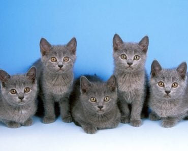Five Tips For Taking Care of Chartreux Kittens