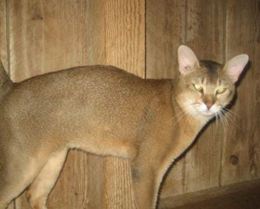 Chausie Cat Breed: 5 Things You Didn't Know