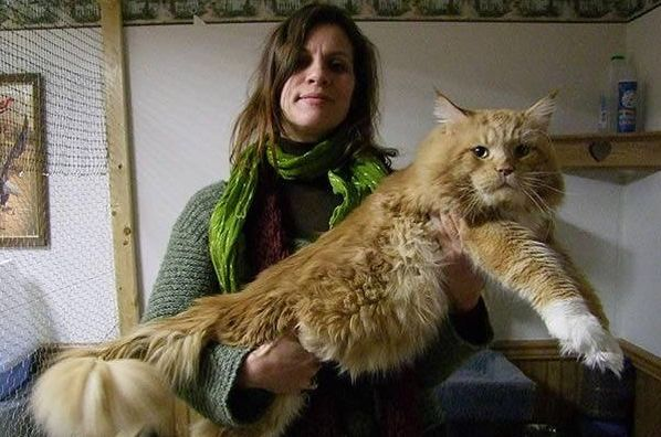 Maine Coon Cat For Sale Cost
