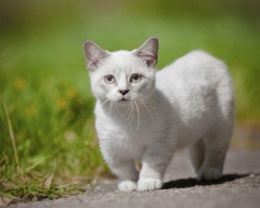 Five Myths You Need To Know About Munchkin Cats