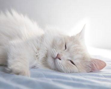 How to Identify a Turkish Angora Cat