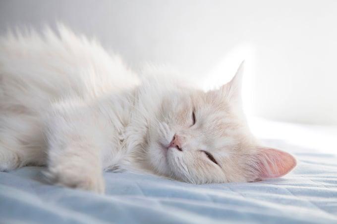 Turkish angora kittens for sale houston