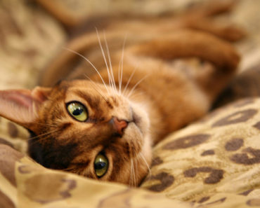 Abyssinian Cat Personality: 5 Things You Need to Know