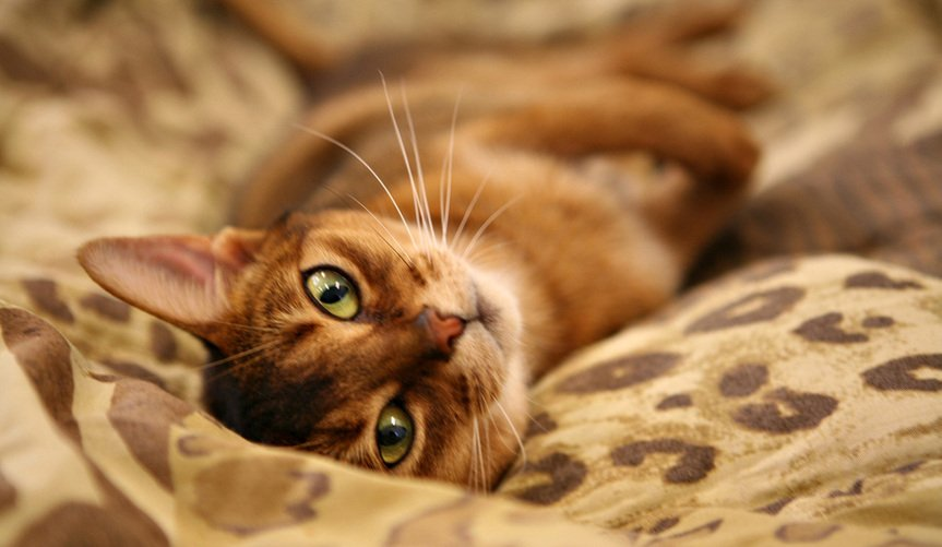Abyssinians cats