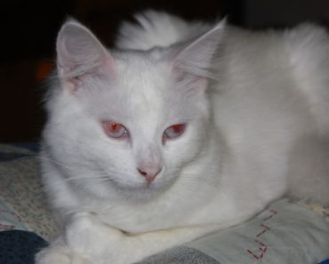 How To Tell An Albino Cat From A White Cat