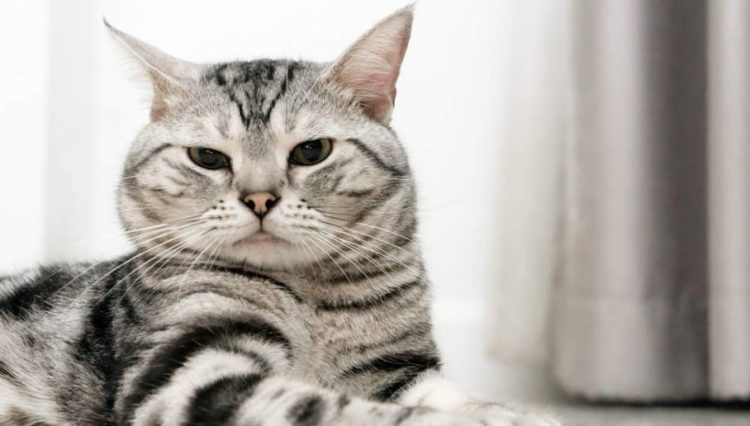 special caretaking tips for the american shorthair