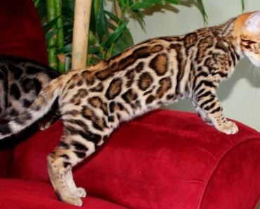 Bengal Cat Personality: Five Things You Need to Know