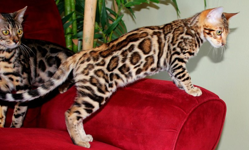 Are Bengals Good House Cats