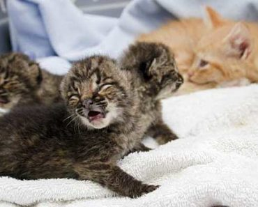 4-Week-Old Bobcat Is Scorched In A Barn Fire, 2 Years Later He Makes A Friend