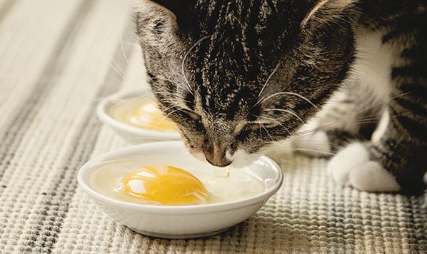 Can Cats Eat Egg White