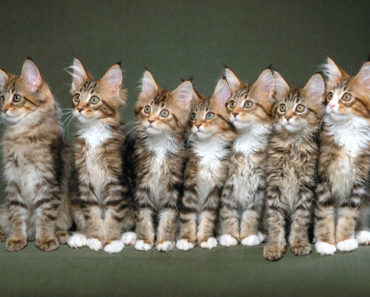 Five Fast Facts About The Maine Coon Cat's Personality