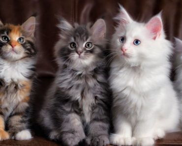Five Of The Cutest Main Coon Videos Of 2017
