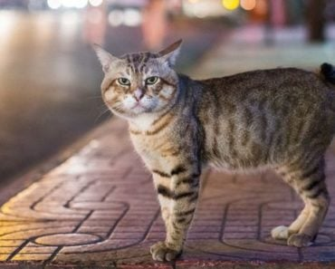 Five Health Concerns for the Manx Cat to Be Aware Of