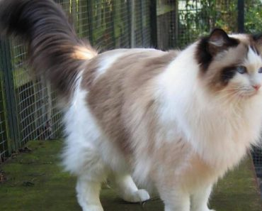 Five Fast Facts About The Ragdoll Cat Personality