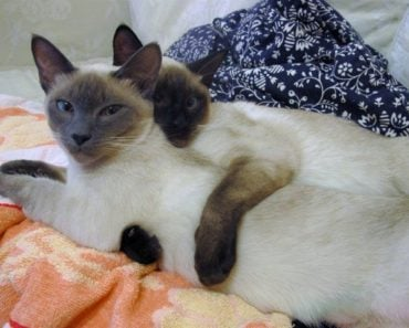 Five Funny Videos of Siamese Cats of 2017
