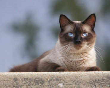 How Many Types of Siamese Cats Are There?