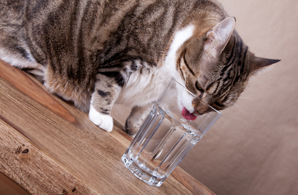 How Much Water To Cats Drink A Day