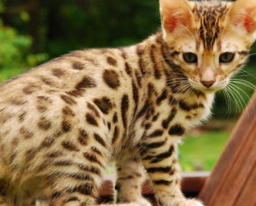 The Five Most Energetic Cat Breeds