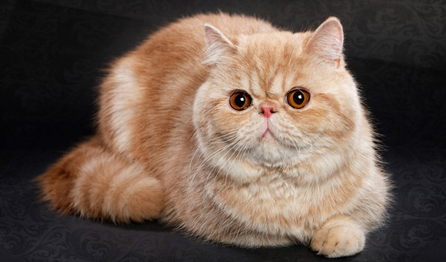 The 20 Absolute Cutest Cat Breeds That Exist Kittentoob