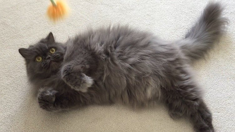 Top 20 Long Haired Cat Breeds