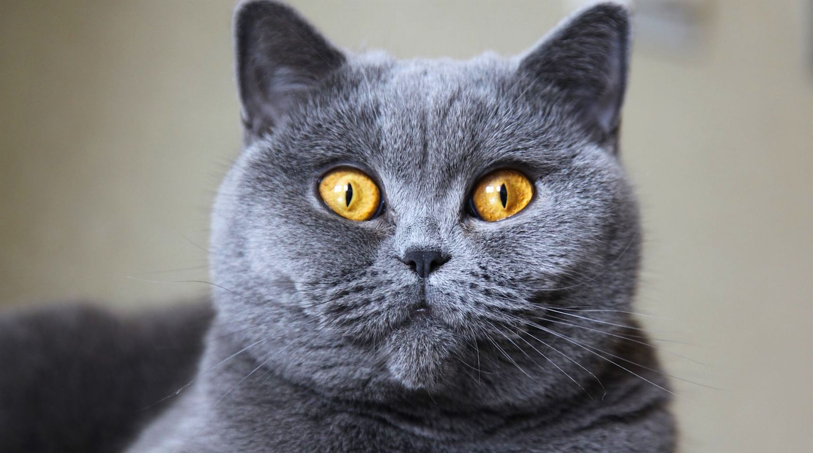Silver Cheshire Cat Breed