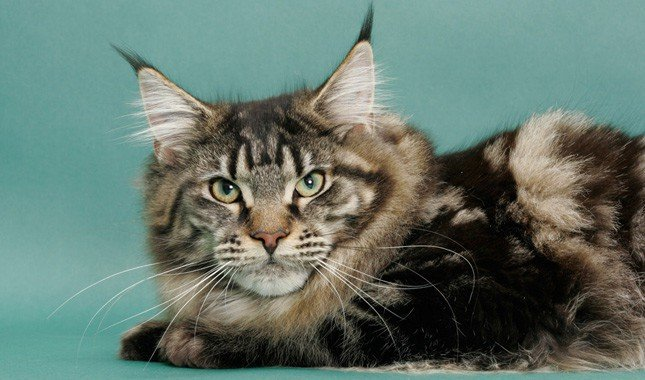 Mix ragdoll coon maine and Maine coon