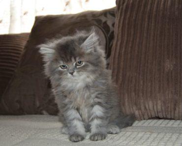 The Five Calmest Cat Breeds