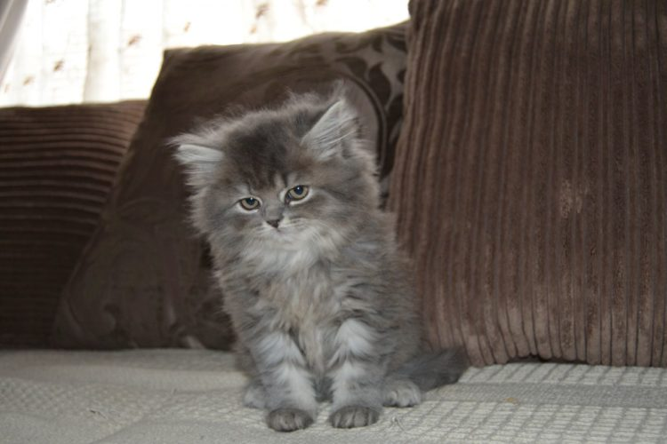 20 Fun Facts You Didn't Know About Maine Coon Cats