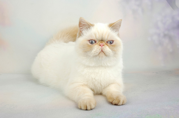 0258de559c The International Cat Association hints that the Exotic Shorthair is the  Persian who prefers to lounge around in its pajamas.