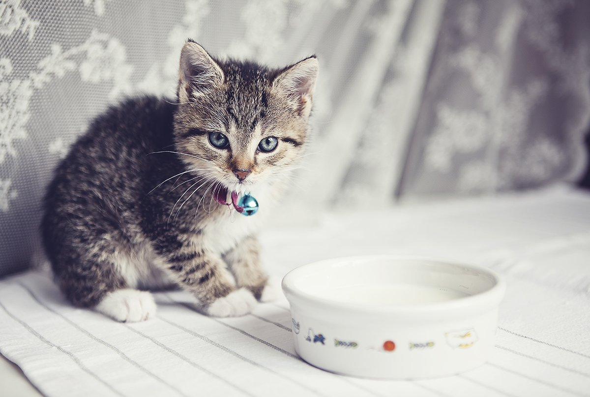 How often should you give a cat milk