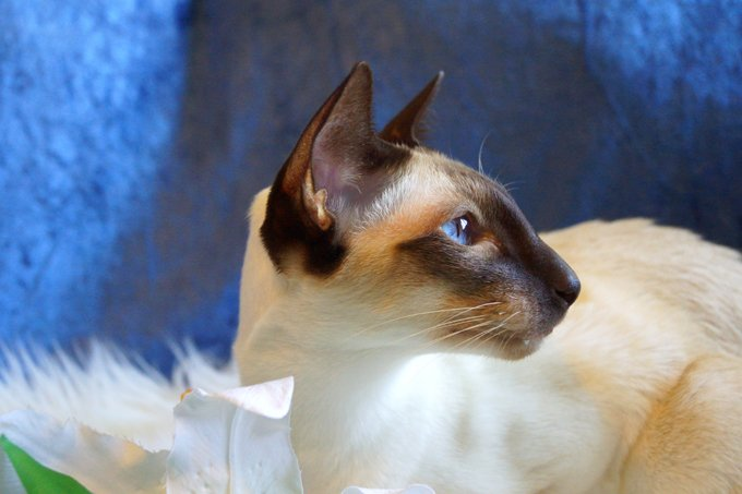 20 fun facts you didn t know about siamese cats