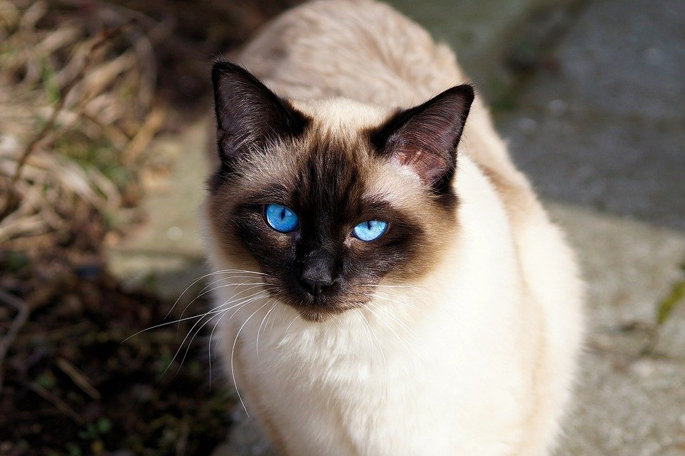 Blue Eyed Siamese Cat Price