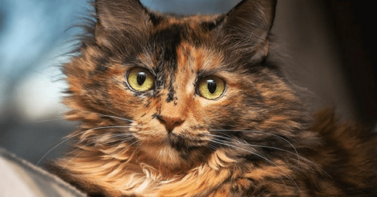 20 things you didn 39 t know about tortoiseshell cats - Images of tortoiseshell cats ...