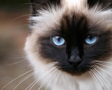 20 Fun Facts You Didn't Know About Birman Cats