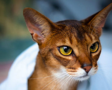 20 Fun Facts You Didn't Know about Abyssinian Cats