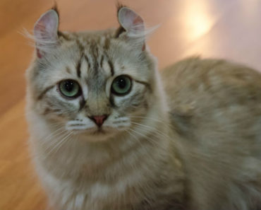 20 Fun Facts You Didn't Know About American Curl Cats