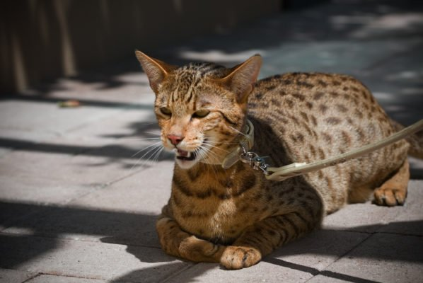 The 20 Most Expensive Cat Breeds In The World
