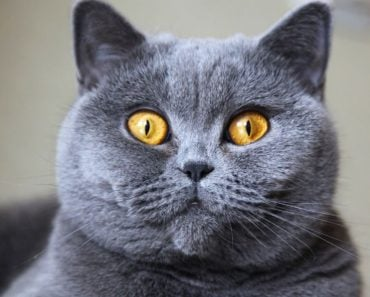 20 Fun Facts You Didn't Know About The British Shorthair