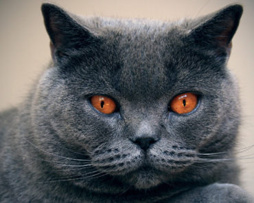 20 Fun Facts You Didn't Know About Chartreux Cats