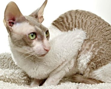 20 Fun Facts You Didn't Know about the Cornish Rex