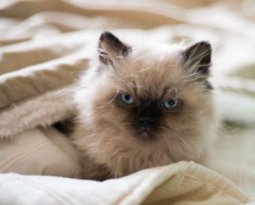 20 Fun Facts You Didn't Know About Himalayan Cats
