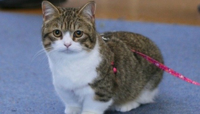 20 Fun Facts You Didn't Know about Munchkin Cats