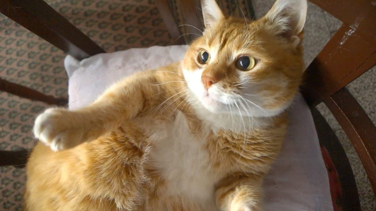 20 Fun Facts You Didn\'t Know about Munchkin Cats
