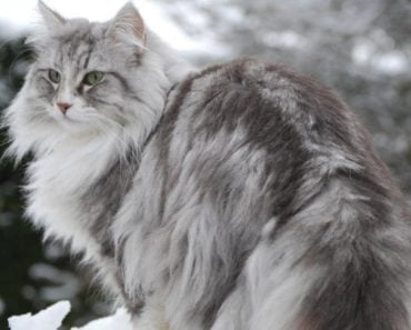 20 Fun Facts about The Norwegian Forest Cat
