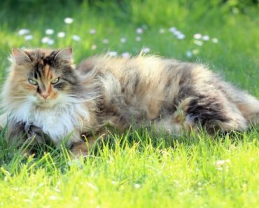 Five Cats Breeds That are Totally Low Maintenance